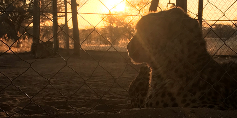 cheetah with sunset in the background