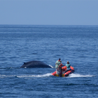 Researchers in a inflatable motor boat alongside a surfacing blue whale