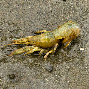 Blue mud shrimp
