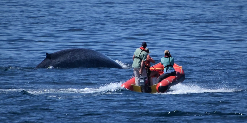 researchers in small boat alongside a blue whale