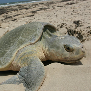 Kemp's Ridley sea turtle
