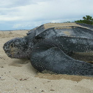 Leatherback seaturtle