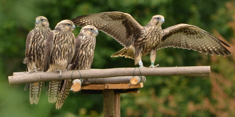 Photo of saker falcons
