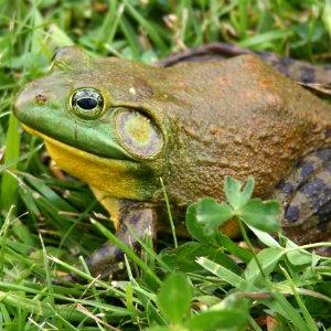 North American Bullfrog