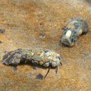 October caddisfly