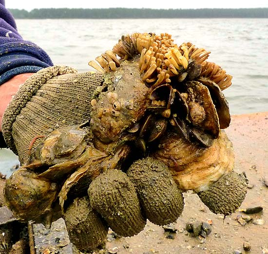 Eastern Oyster clump