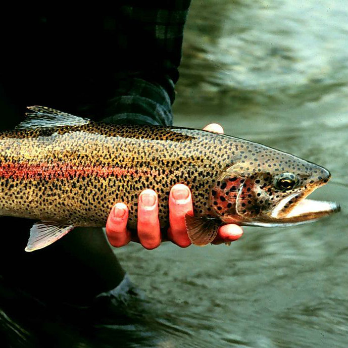 Rainbow trout being held by fisherman