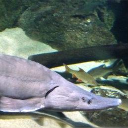 Siberian sturgeon