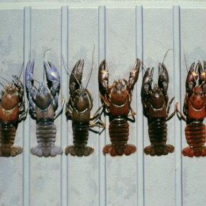 Signal Crayfish - color variations
