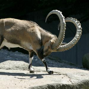 Sind Ibex