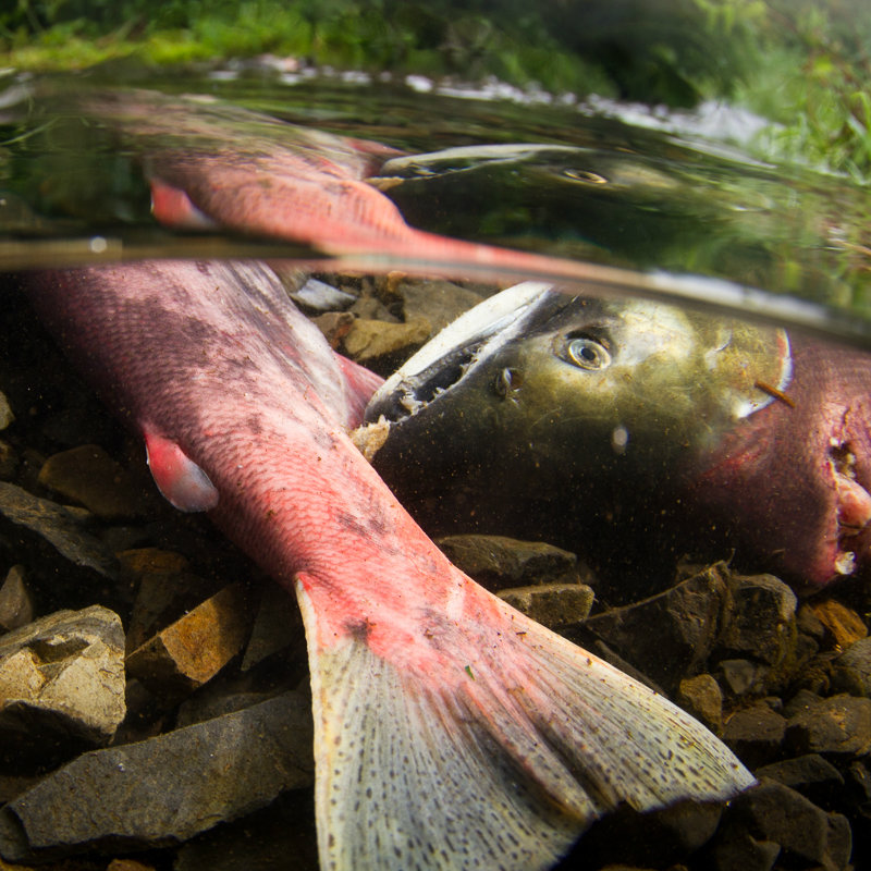 Deceased sockeye salmon sit at the bottom of a shallow stream